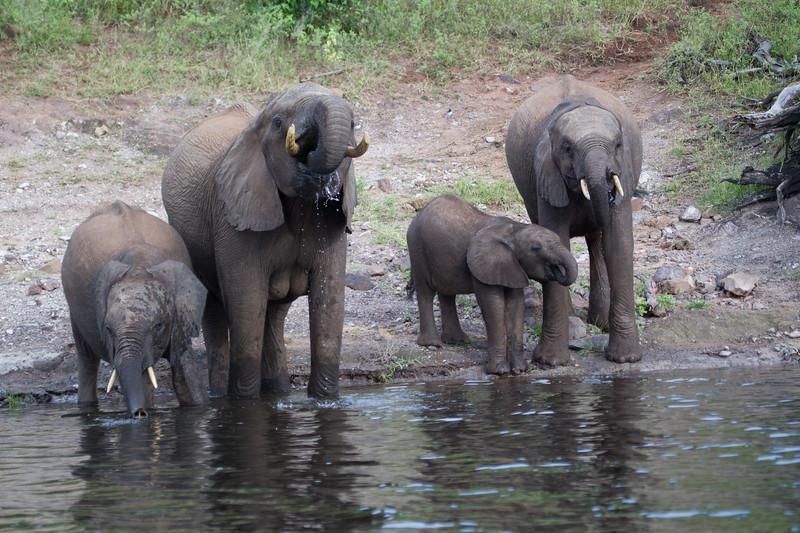 Elephants Chobe_14-03-08__O6B1244