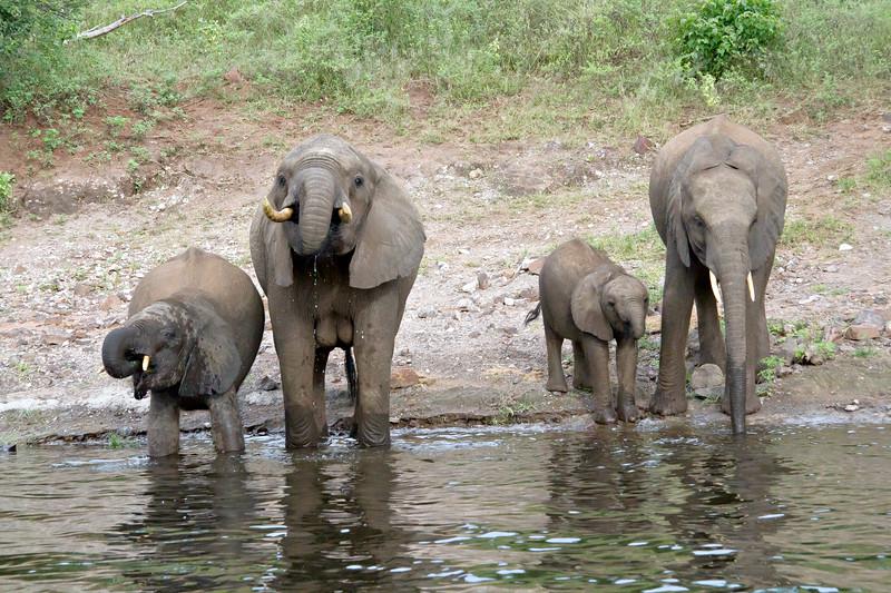 Elephant family drinking