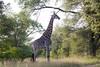 Girafe Kirkman_14-03-15__O6B2264