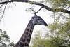 Girafe Kirkman_14-03-15__O6B2267