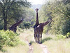 Girafe Kirkman_14-03-16__O6B2355