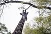 Girafe Kirkman_14-03-15__O6B2270