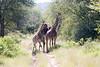 Girafe Kirkman_14-03-16__O6B2358