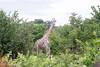 Girafe Chobe_14-03-08__O6B1627