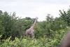 Girafe Chobe_14-03-08__O6B1626