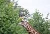 Girafe Chobe_14-03-08__O6B1635