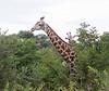 Girafe Chobe_14-03-08__O6B1628