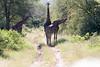 Girafe Kirkman_14-03-16__O6B2356