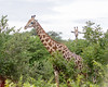 Girafe Chobe_14-03-08__O6B1629