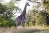 Girafe Kirkman_14-03-15__O6B2261