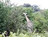 Girafe Chobe_14-03-08__O6B1636