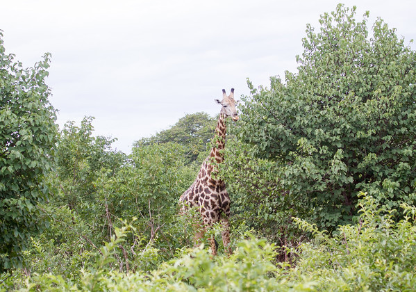 Girafe Chobe_14-03-08__O6B1623