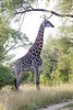 Girafe Kirkman_14-03-15__O6B2266
