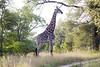 Girafe Kirkman_14-03-15__O6B2263