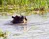 Hippos Livinstone_14-03-06__O6B0867