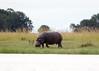 Hippo Chobe_14-03-08__O6B1496