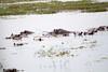Hippos Chobe_14-03-08__O6B1541