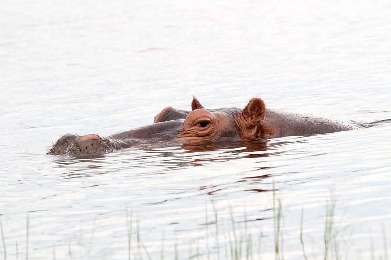 Hippo Chobe_14-03-08__O6B1301