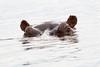 Hippo Chobe_14-03-08__O6B1305