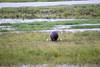 Hippo Chobe_14-03-08__O6B1519