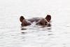 Hippo Chobe_14-03-08__O6B1285