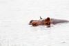 Hippo Chobe_14-03-08__O6B1293
