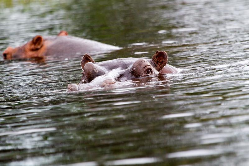 Hippo Chobe_14-03-08__O6B1275