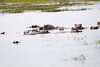 Hippos Chobe_14-03-08__O6B1547