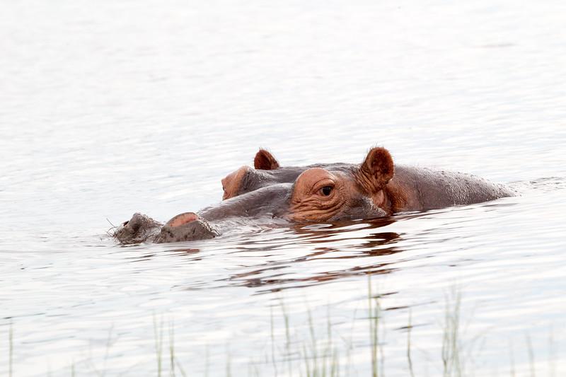 Hippo Chobe_14-03-08__O6B1302