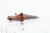 Hippo Chobe_14-03-08__O6B1294