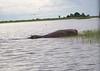 Hippo Chobe_14-03-08__O6B1254