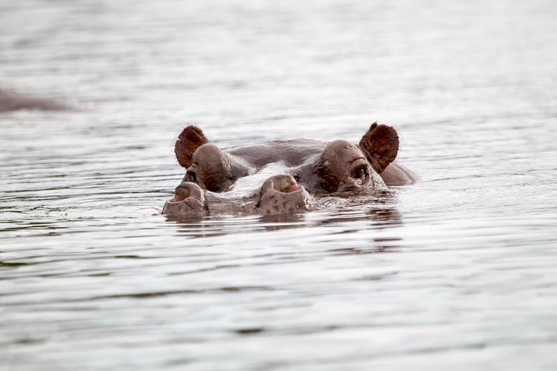 Hippo Chobe_14-03-08__O6B1279