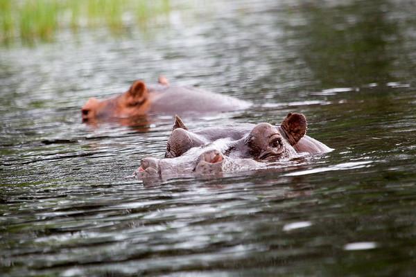 Hippo Chobe_14-03-08__O6B1274