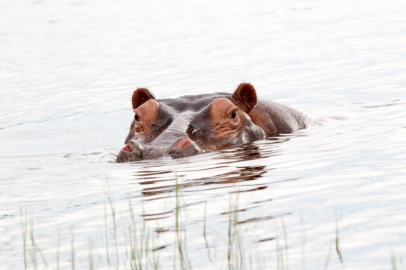 Hippo Chobe_14-03-08__O6B1304