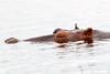 Hippo Chobe_14-03-08__O6B1297