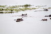 Hippos Chobe_14-03-08__O6B1537
