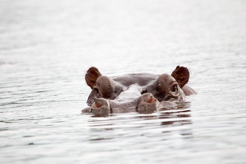 Hippo Chobe_14-03-08__O6B1283