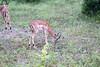 Impala Chobe_14-03-08__O6B1528