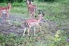 Impala Chobe_14-03-08__O6B1525