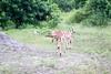Impala Chobe_14-03-08__O6B1530