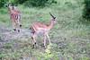 Impala Chobe_14-03-08__O6B1526