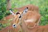 Impala Chobe_14-03-08__O6B1604