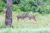 Kudu Chobe_14-03-08__O6B1321