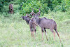Kudu Chobe_14-03-08__O6B1334