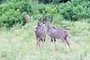 Kudu Chobe_14-03-08__O6B1328