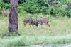 Kudu Chobe_14-03-08__O6B1319