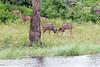 Kudu Chobe_14-03-08__O6B1315