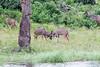 Kudu Chobe_14-03-08__O6B1316