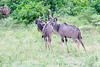 Kudu Chobe_14-03-08__O6B1332
