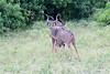 Kudu Chobe_14-03-08__O6B1339